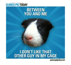 What Is The Best Guinea Pig Bedding? Photo by picto:graphic Guinea pig owners routinely utilize wood or paper types of shavings as the bedding for their pets. Baby Guinea Pigs, Guinea Pig Toys, Guinea Pig Care, Cat Toys, Hamsters, Rodents, Guinea Pig Quotes, Dumb Animals, Guniea Pig