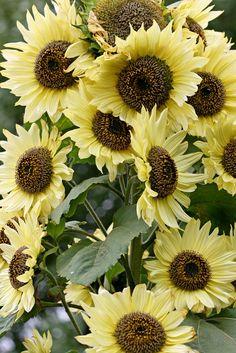 Sunflower 'Lemon Queen'