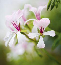 Pelargoni kukoistaa, kun se saa oikeaa hoitoa - katso 6 vinkkiä