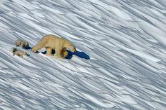 Russia. Wrangel Island. Polar bear! Wrangel Island Nature Reserve!— con Ilie Prelipceanu, Aleksandra Opalic, Stefano Baldoni y Cristian Milla.