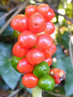 Identify Common Poisonous Berries in North America The best way is to learn about various species of harmful berries.
