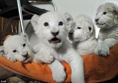 Cute: White lion cubs rest on a towel in the office of the director of Yalta Zoo in the Ukraine. The ultra-rare cats were all born a fortnight ago to tawny coloured parents