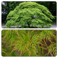 Emerald Lace Japanese Maple (2m high & 3m wide) Bright green feathery foliage with orange margins.  Foliage turns red in the fall.  Protect from the hot afternoon sun. Canadale Nurseries Ltd.