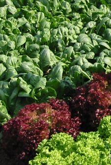 Schattenverträgliches Gemüse                                                                                                                                                                                 Mehr