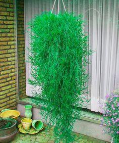 Csüngőbambusz 'Green Twist', Agrostis stolonifera