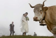Japanese bride and groom Arisa Chi and Kenji Yoshida have their photo session interrupted by a cow after their wedding ceremony on the foggy Mount First in the Swiss Alpine resort of Grindelwald on August Fun Shots, Photo Sessions, Wedding Ceremony, Deer, Art Photography, Wedding Photos, Wildlife, Elephant, Horses