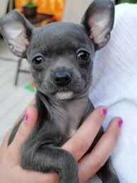 Ahh Blue Chihuahua!!