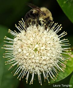 Planting Perfume for Pollinators - Help plants native to your region. This is the Buttonbush, an NJ Pine Barrens native. Perennial Vegetables, Growing Gardens, Beautiful Bugs, Drought Tolerant Plants, Backyard Birds, Native Plants, Lawn And Garden, Garden Inspiration, Garden Plants