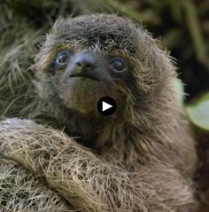 Nature on PBS: A Sloth Named Velcro