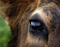 the eye of the elk Coyote Hunting, Archery Hunting, Pheasant Hunting, Deer Eyes, Taxidermy Display, Bull Elk, Deer Pictures, Deer Hunting Blinds, Photos Of Eyes