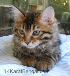 Cashmere Bengal Kittens - Healthy, Top Quality, Highly Socialized, Very Sweet and Loving, Rosetted Cashmere Kittens