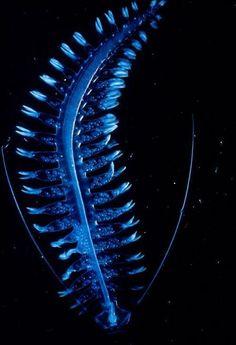 Tomopteris -Deep  sea Alien Worm