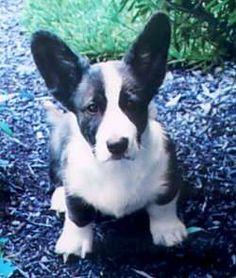 Cardigan Welsh Corgi Puppies, Corgi Dog, Pretty Animals, Cute Animals, Corgi Breeds, Corgi Pembroke, Cute Creatures, Dogs Of The World, Dog Training