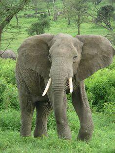 Elefante-da-savana (Loxodonta africana)