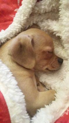 Leyla 3 mesiace Labrador Retriever, Dogs, Animals, Animales, Labrador Retrievers, Animaux, Doggies, Labrador Retriever Dog, Animal