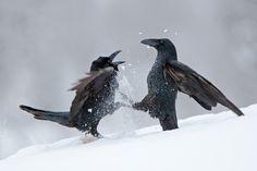 Bird picture: Corvus corax / Raaf / Northern Raven