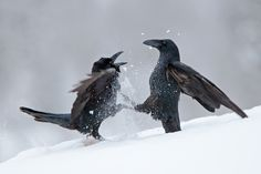 Bird picture: Corvus corax / Raaf / Northern Raven