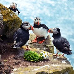 Puffins. Via T+L (www.travelandleisure.com). Atlantic puffins spend most of their lives at sea, returning to land only once a year to breed. About 60 percent of the world's puffins breed along Iceland's coast.