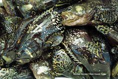 Sản xuất thành công vắc xin phòng bệnh hoại tử thần kinh cho cá mú nuôi công ngh... | Vietnam Aquaculture Network - Mạng Thủy sản Việt Nam
