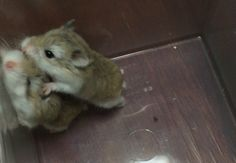 Robo Dwarf Hamsters, Cute Hamsters, Roborovski Hamster, Animals And Pets, Funny Animals, Baby Animals Super Cute, Gerbil, Rodents, Humorous Animals