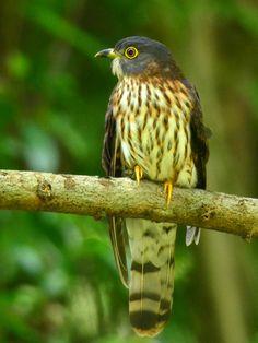 Hodgsons Hawk Cuckoo Bidadari