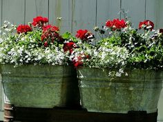 Red Geraniums and white lobelia in old wash tubs.