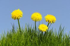 5 Yummy Things to Do With Dandelion