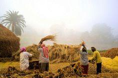(pallab seth) Tags: autumn india field rural village rice paddy grain harvest culture bengal cultivation agricultural method threshing rurallife workingpeople ruralbengal grambanglarchobi nabannautsav