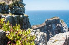 succulents, ocean, two ocean, south africa, caoe town, cape point, cape of good hope