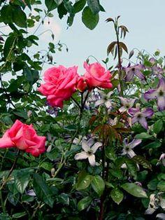 Rose 'Shogun' und Clematis viticella 'Minuet'  complete guide to roses and clematis combo http://www.hauenstein-rafz.ch/de/pflanzenwelt/verwendung/gestaltung/Rosen-und-Clematis.php#