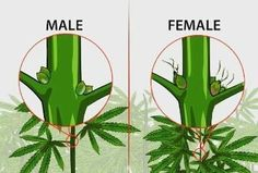 How to Identify Female and Male Marijuana Plants. If you are growing marijuana for medicinal purposes, you need to know how to identify female and male marijuana plants. Almost all growers prefer female marijuana plants because only.