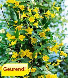 Gele geurende Jasmijn