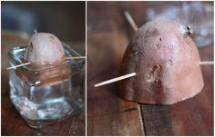 How to start sweet potato plants indoors!