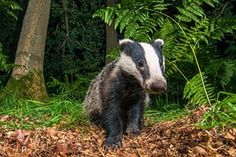 Big Pic - Badgers: badger in forest