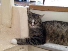 Tika Cat | Pawshake