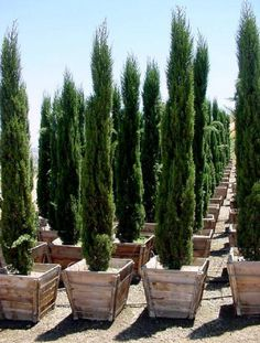 20 seeds of Cupressus sempervirens - Italian Cypress