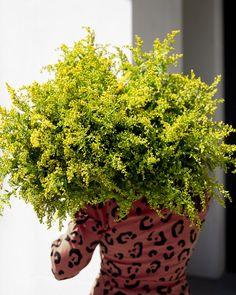 #solidago #sanziene #flowers #flowershop Planter Pots, Flowers, Royal Icing Flowers, Flower, Florals, Floral, Blossoms