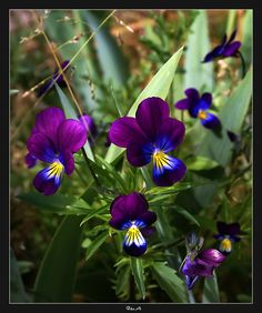 pansies  #flower #annual
