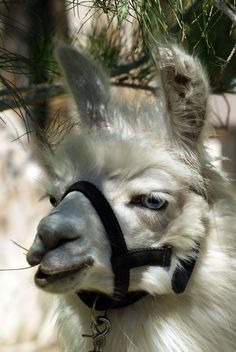 Honorary post - sceptical llama is sceptical =/