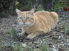 Sunny is an adoptable Domestic Short Hair - orange and white searching for a forever family near San Diego, CA. Use Petfinder to find adoptable pets in your area.