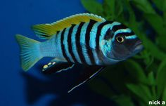 Cynotilapia afra (Jalo Reef) - Google Search