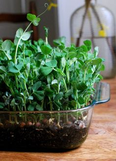 Garlicky Pea Shoots - Growing dwarf grey sugar peas in your windowsill