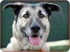 "WILL YOU HELP ME FIND A LOVING HOME??! **SENIOR ALERT** Meet ""CROSBY"", a beautiful German Shepherd mix, already neutered, for adoption in Carlsbad, CA- S.Diego Dept of Animal Svcs. http://www.adoptapet.com/pet/11458748-carlsbad-california-german-shepherd-dog-mix"