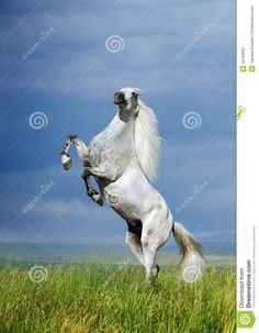 rearing horse drawing | Wild Horse Rearing A Grey Horse Rearing On The