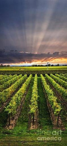 Picture of Vertical panorama of vineyard at sunset in Niagara peninsula, Ontario, Canada. stock photo, images and stock photography. Ontario, Wine Vineyards, Vides, Douro, In Vino Veritas, Canada Travel, Wine Country, Champs, Wonders Of The World