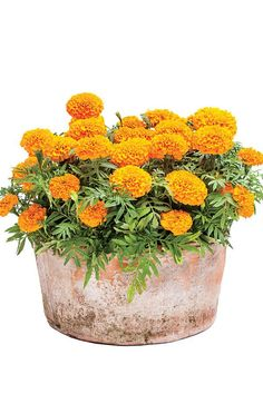 Sunny Marigolds - Best Ideas for Fall Container Gardening - Southernliving. Use marigolds as you would mums for great autumn color. They're ideal in pots or in the ground.