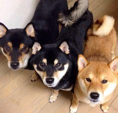 Shiba Inu babies