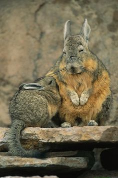 That's not a rabbit, that's Mother Nature's version of Pikachu (also known as Viscacha)