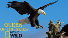 Eagle Documentary National Geographic Full - QUEEN OF THE SKIES
