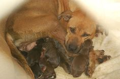 Tyra has had her puppies and her and the 11 of them need out of the shelter NOW please share we need rescue asap.. LANCASTER SC Run 15 - Tygra - Female Boxer Mix - Age unknown at this time - ID # A20674285 - Hold released 08/16/2013 Phone: (803) 286-8103 Fax: (803) 286-7907 Official Website: www.lancastercountysc.net  https://www.facebook.com/photo.php?fbid=504701606279499=a.101240716625592.2293.100002189910837=1=nf